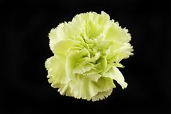 Carnation against black. Pale green carnation isolated against black royalty free stock image
