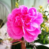 Carnation. Artistic look in vintage vivid colours. Stock Images