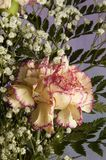 Carnation with Baby's Breath Stock Photos