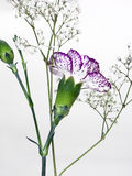 Carnation back. Isolated with babies breath stock photo