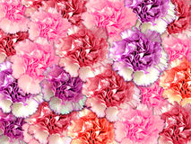 Carnation background. Beautiful carnation background in various colors Stock Images