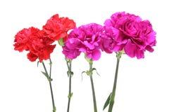 Carnation background Royalty Free Stock Image