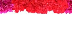 Carnation background Stock Images