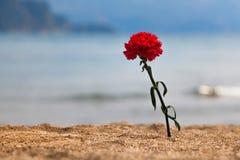 Carnation on a beach Stock Photography