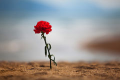 Carnation on a beach Stock Image