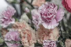 Carnation. Beautyful sepia bouquet carnation flowers Stock Photography