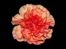 Carnation On Black. An orange carnation with pink streaks isolated on a black background Royalty Free Stock Image