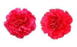 Carnation blooms Royalty Free Stock Photo