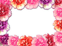 Carnation border. Beautiful carnation border in various colors Stock Images