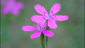 Carnation, Carnation meadow - Dianthus campestris, Carnation field, Dianthus deltoides Dianthus deltoids stock video footage