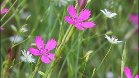 Carnation, Carnation meadow - Dianthus campestris, Carnation field, Dianthus deltoides Dianthus deltoids stock footage