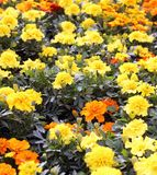 Carnation and chrysanthemum cultivation in the greenhouse Royalty Free Stock Photos