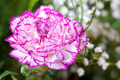 Carnation Royalty Free Stock Images