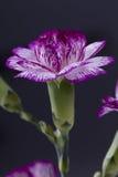 Carnation Closeup Stock Images