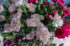 Carnation combination-Flower arrangement-. Herbs perennial, 30-50 cm tall, entire plant glabrous, with pink green. Stems from the root neck, sparse bushy, erect Royalty Free Stock Photos