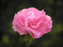 Carnation cor-de-rosa Imagens de Stock