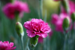 Carnation. Darkly pink bud of a blossoming carnation. Around dim contours of flowers, leaves and not opened buds Royalty Free Stock Photos