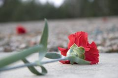 Carnation deposited at the monument of the former extermination camp Sobibor Stock Images