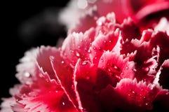 Carnation details Stock Images