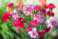 Carnation dianthus in bouquet, macro blur by helios Royalty Free Stock Photo