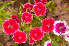 Carnation Dianthus chinensis pink and beautiful flowers stock images