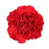 Carnation flower Stock Photos