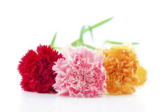 Carnation flower Royalty Free Stock Photo