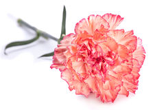 Carnation flower Stock Image