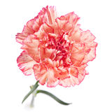 Carnation flower Stock Photos