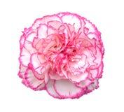 Carnation flower. Beautiful pink carnation flower isolated on white background Stock Photo