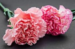 Carnation flower on black. Royalty Free Stock Photos