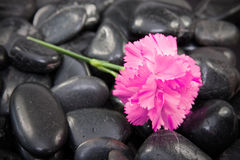 Carnation flower on the black stones. Royalty Free Stock Photography
