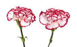 Carnation flower Royalty Free Stock Photography