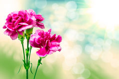 Carnation flower Stock Photography