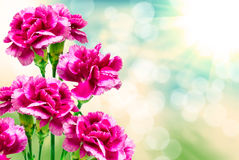Carnation flower Royalty Free Stock Images