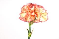 Carnation. Flower closeup on white Stock Photo