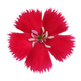Carnation flower crimson red color isolated Royalty Free Stock Images