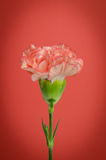 Carnation flower design on red background Stock Photography