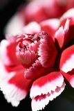 Carnation Flower Head, close up. Carnation Flower Head, isolated, black background, close up, vertical stock photo