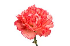 Carnation flower isolated royalty free stock image