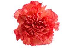 Carnation flower isolated royalty free stock photo