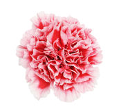 Carnation Stock Images