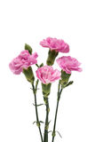 carnation flower isolated stock images