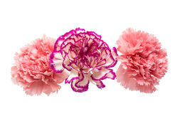 carnation flower isolated royalty free stock photography