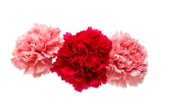 carnation flower isolated stock photos