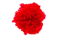 carnation flower isolated royalty free stock photos