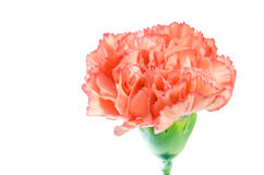 Carnation flower isolated on white background Stock Images