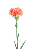 Carnation flower isolated on white background Royalty Free Stock Image