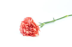Carnation flower isolated on white background Royalty Free Stock Photo