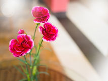 Carnation flower with light. Carnation flower, soft focusCarnation flower with glowing light beam Royalty Free Stock Photography